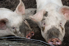 Two muddy pigs in pen. Two muddy pigs relaxing in pen at farm Royalty Free Stock Photos