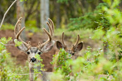 Two mule deer bucks with velvet antlers. Two mule deer bucks (Odocoileus hemionus) with velvet antlers staring from the woods royalty free stock photo
