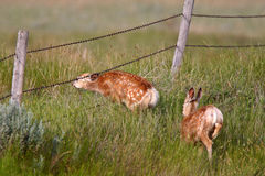 Two Mule Deer fawns stock image