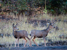 Two mule deer fawns Stock Images