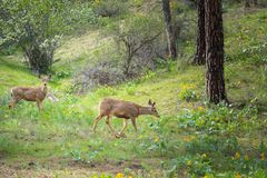 Two mule deer walking through springtime forest with pine trees, flowering saskatoon berry, and arrowleaf balsamroot flowers. Springtime forest scene with pine Stock Images