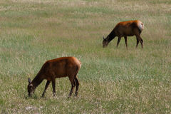Two mule deers on morning pasture Royalty Free Stock Photography
