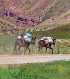 Two mules. In the Andes transport a load Royalty Free Stock Photo