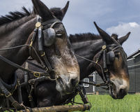 Two Mules Royalty Free Stock Photography