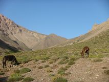 Two mules that pasture in the mountains of the Atlas in Maroc Stock Photos