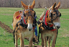 Two mules plowing Stock Image