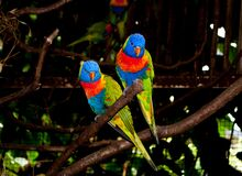 Free Two Multi-colored Beautiful Lori Parrots Sitting Together On A Branch Royalty Free Stock Photography - 181096377