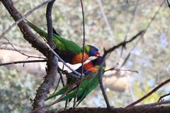 TWO Looks like a rainbow lorikeet parrot sitting on a tree branch among green leaves stock photo