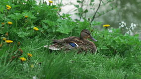 Two multicolored ducks are sitting in grass against backdrop of pond.  stock video