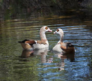Egyptian geese on water Royalty Free Stock Images