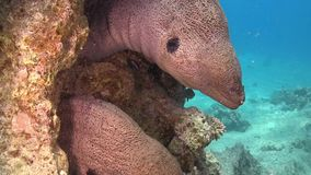 Two Murena on Coral Reef. Red sea stock video footage