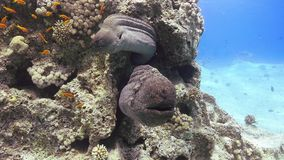 Two Murena on Coral Reef. Underwater scene stock video footage