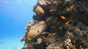 Two Murena on Coral Reef. Underwater scene stock video