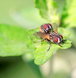 two muscidae insects mating Royalty Free Stock Image