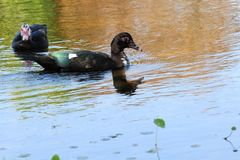 Two Muscovy ducks Royalty Free Stock Photography