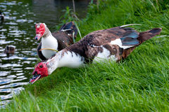 Two Muscovy Ducks Stock Images