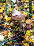 Two of the mushroom in the autumn forest stock photography