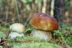 Two mushroom boletus edulis Royalty Free Stock Photography