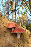 Two mushroom growing in the forest. On a pile of clay Royalty Free Stock Photo