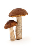 Two mushrooms. Closeup, isolated on white background stock image