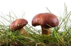 Two mushrooms Royalty Free Stock Images