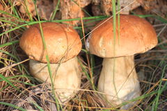 Two mushrooms Royalty Free Stock Photos