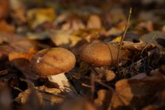 Two mushrooms in the autumn forest stock image