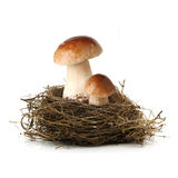 Two mushrooms in bird nest Royalty Free Stock Photo