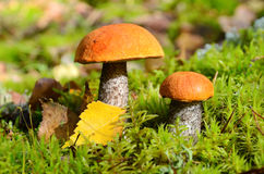 Two mushrooms in forest Royalty Free Stock Photography