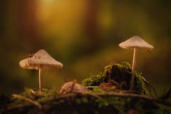 Two mushrooms in the forest Stock Image