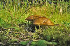 Two mushrooms in the grass and the moss of the forest Stock Image
