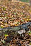 Two mushrooms growing under log in fall forest Royalty Free Stock Images