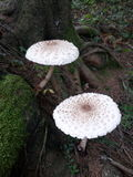 Two mushrooms Royalty Free Stock Photography