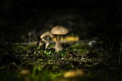 Two mushrooms Royalty Free Stock Image