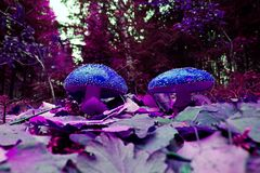Two mushrooms Stock Images