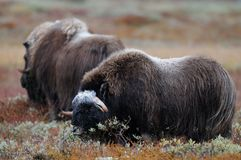 Two musk ox in autumn landscape. Two musk ox in a autumn landscape, dovrefjell, norway, ovibos moschatus Royalty Free Stock Images
