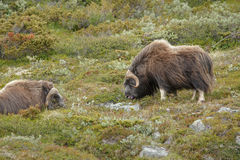 Two musk ox in Norway's Dovrefjell National Park Royalty Free Stock Images
