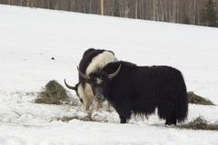 Two musk-oxes Stock Photo