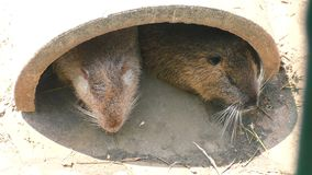 Two muskrats sit in their dwelling. Two muskrats sit in their dwelling and doze in the sun stock video footage