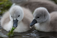 Two Mute Swan cygnets feeding in the water Stock Image