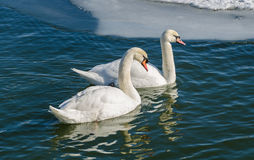 Two mute swan (Cygnus Olor). Royalty Free Stock Photography