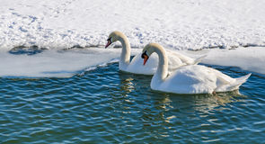 Two mute swan (Cygnus Olor). Royalty Free Stock Images
