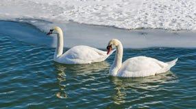 Two mute swan (Cygnus Olor). Stock Image
