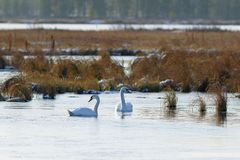 Cygnus olor. Two Mute Swan in late autumn in the North of Siberi Royalty Free Stock Image