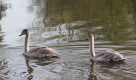 Two mute swan young Royalty Free Stock Images