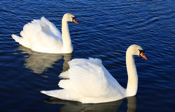 Two mute swans cygnus olor