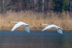 Two mute swans cygnus olor in consecutive flight Royalty Free Stock Photography