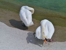Two Mute swans (cygnus olur) at the waterside Royalty Free Stock Photos