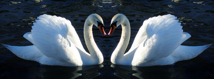 Two Mute Swans opposite each other Royalty Free Stock Photo