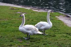 Two mute swans resting on the grass stock photography